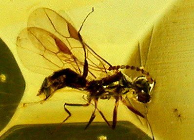 Ambre à insecte