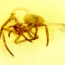 Araignée dans de l'ambre