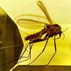 Moustique dans de l'ambre.